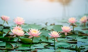 Contact. Multiple lotus flowers